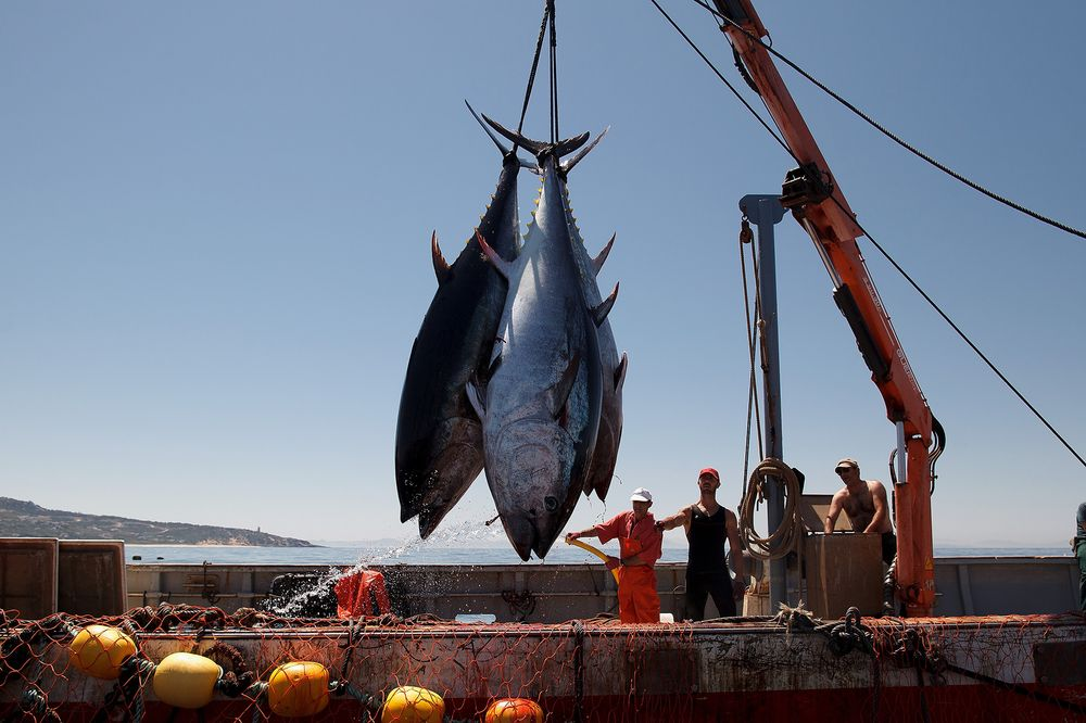 bluefin tuna population