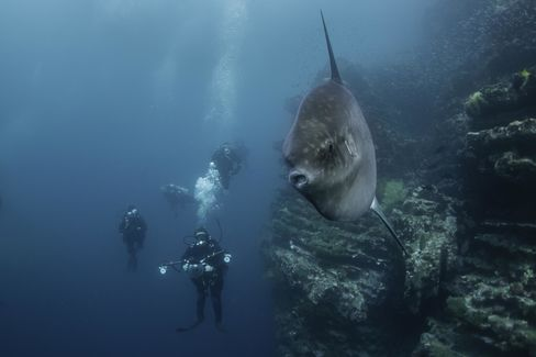 A sun fish on the outskirts of Isabela Island, near the island's lava tunnels.