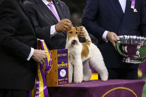 Fox Terrier Wins 138th Westminster Dog Show. Yawn