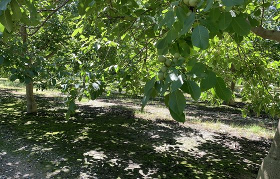 U.S. Nut Glut Is So Big Branches Are Breaking From Heavy Crops