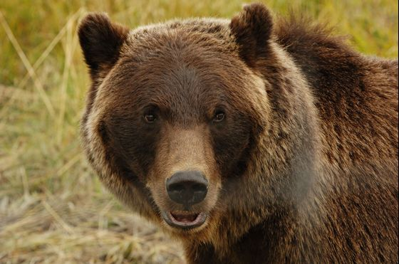 Pack Bear Spray in Your Picnic Basket When Visiting Yellowstone