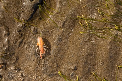 The burrowing shrimp is native to Willapa Bay