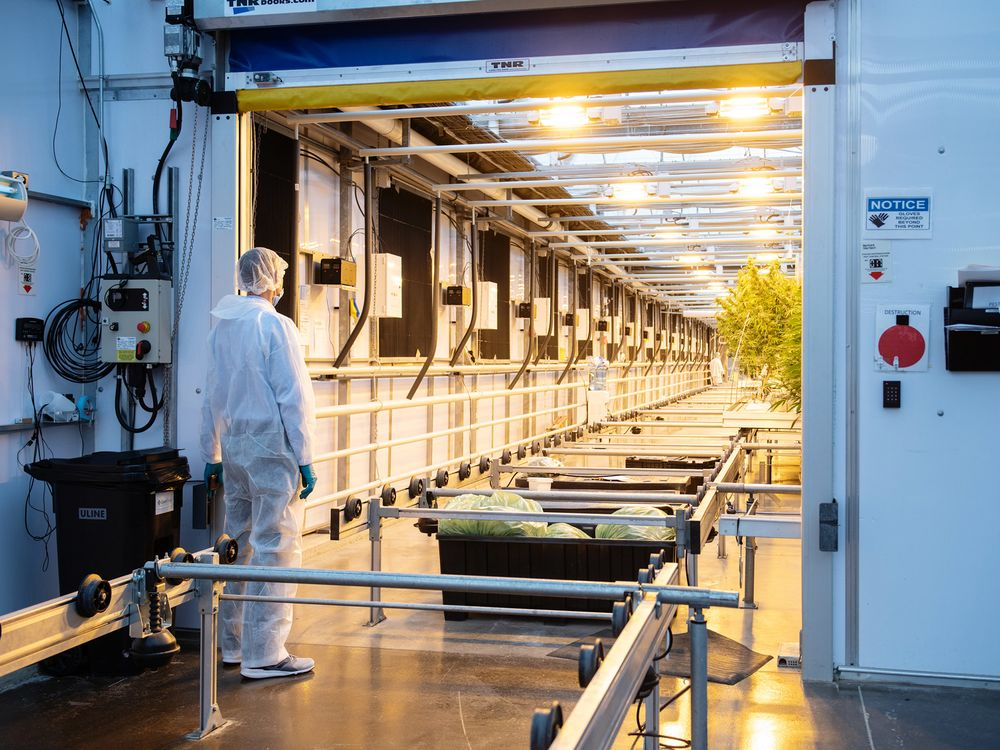 A worker stands outside a greenhouse at the CannTrust Holdings Inc. cannabis production facility in Fenwick, Ontario, Canada.