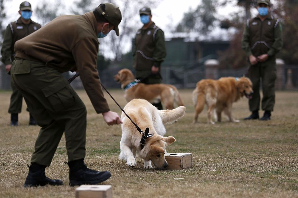 Dogs Can Sniff Out Coronavirus Infections, German Study Shows ...