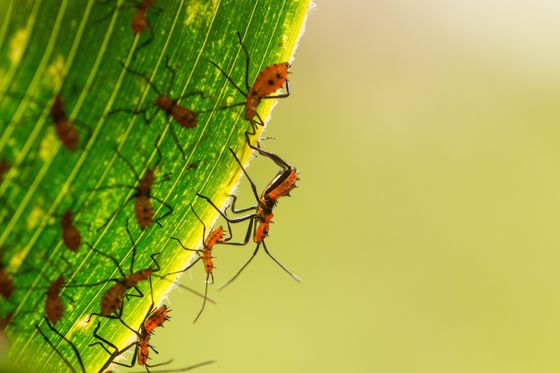 Assassin Bugs Unleashed to Battle Fire Worms by Top Palm Grower