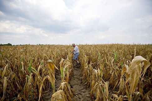 Cash for Doomed Crops Means U.S. Farmers Avoid Disaster Costs