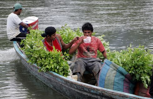 Colombian coca growers transport on a pirogue coca bushe