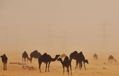 Camels Stand in the Desert in Saudi Arabia