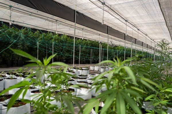 relates to Vicente Fox's Firm Eyes Latin America as Region Opens to Marijuana