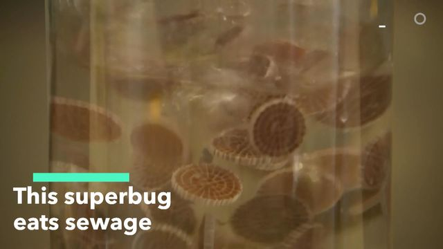 This Superbug Eats Sewage