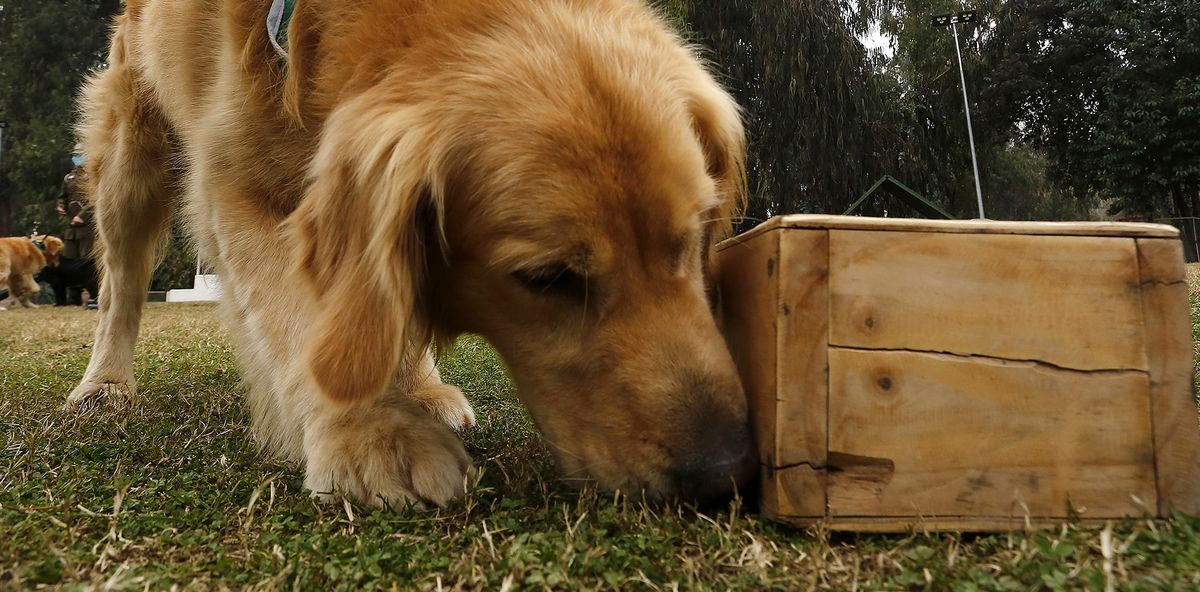 Dogs Can Sniff Out Coronavirus Infections, German Study Shows