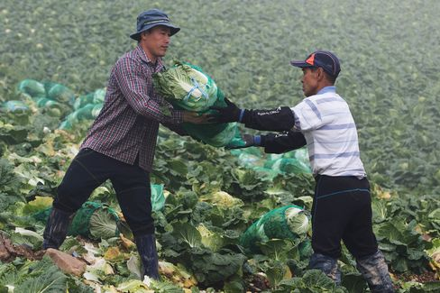Cabbage Harvest And Kimchi Production As South Korea Second-Quarter GDP Rises 0.3%