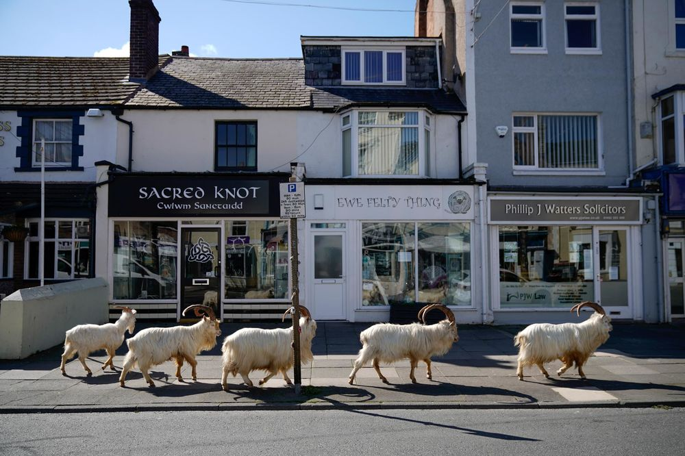 Goats Roam Welsh Town As Coronavirus Lockdown Empties Its Streets