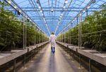 A cannabis greenhouse in Gatineau, Quebec.