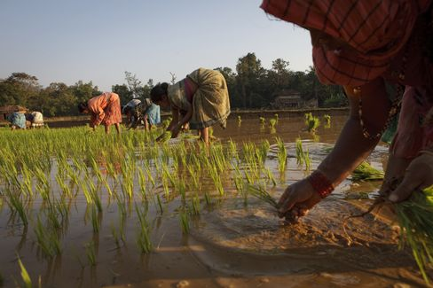 Rice Harvest in India Seen at Record as State Prices Increased