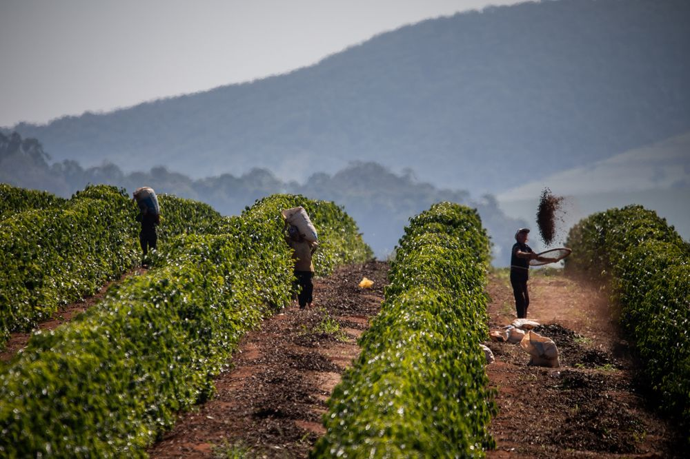 Parched Coffee Farms in Brazil Undermine 'Mega' Crop Outlook - Bloomberg