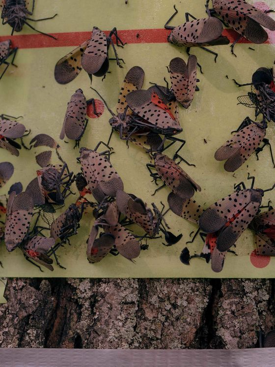 America Isn't Ready for the Lanternfly Invasion
