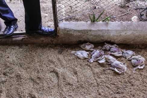 Dead chicks on a farm in Ranga Reddy, where farmers report bacterial diseases are becoming harder to defeat.