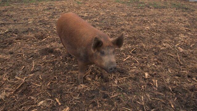 Trade War Rips Through Farm World; Soybean, Hog Prices Fall