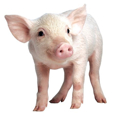 There are about 2million pigs in Duplin County (none as cute as thisone).