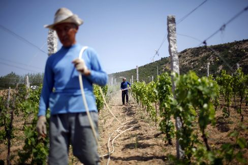 Farm hands treat the grape vines with insect control methods at the Treaty Port Vineyards north of Yantai, Shandong Province.