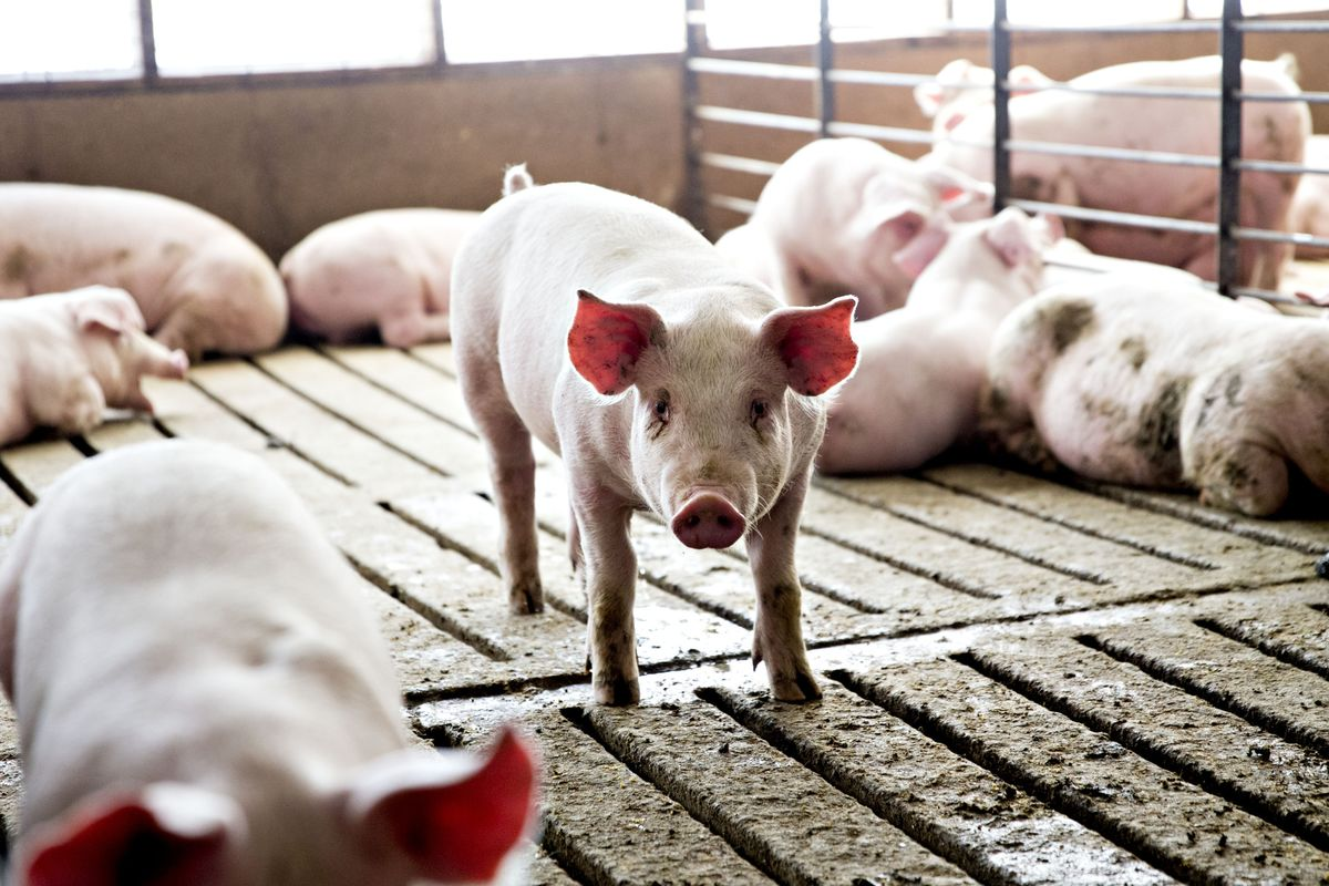 Tyson Bans Pig-Fattening Drug in Bid to Target China Demand