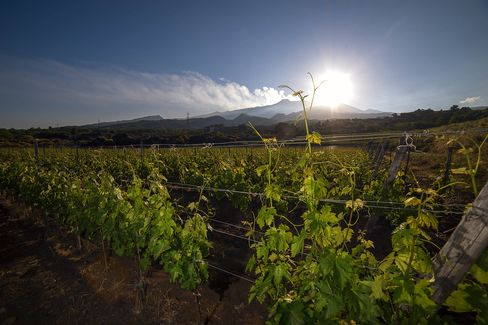 The view of a vineyard with Etna volcano in the background.
