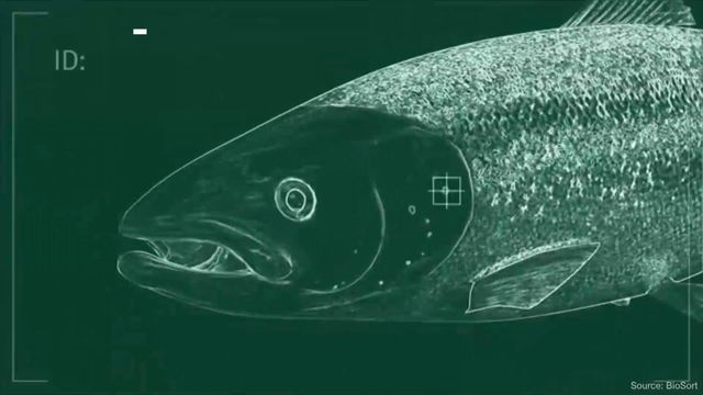Salmon Farmers Are Scanning Fish Faces to Fight Killer Lice - Bloomberg