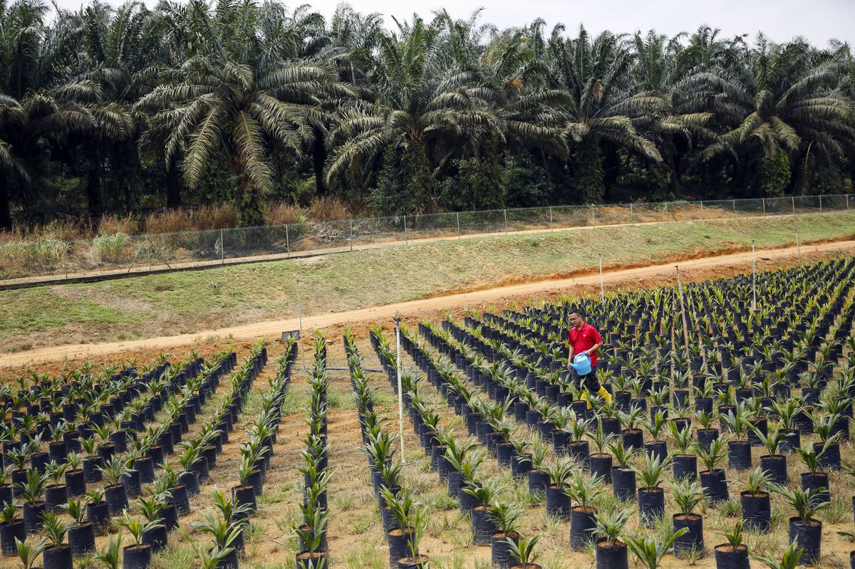 Malaysia's Palm Oil Futures Dominance Challenged by Upstart