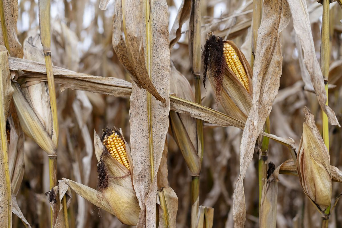 Extreme Weather Is Shaking Up Africa's Corn Trade