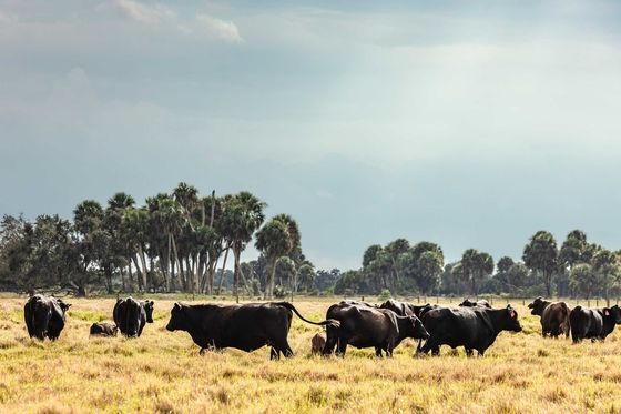 Surviving Climate Change Starts With Heat-Proofing the Cow