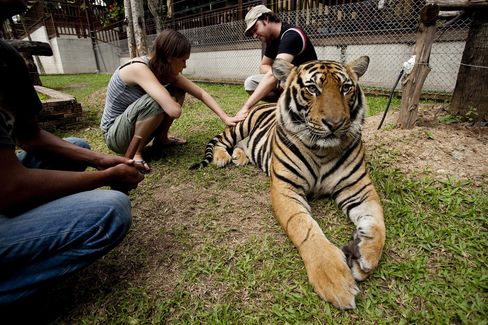 An Australian tourist couple pet a tiger at Tiger Kingdom in Chiang-Mai, Thailand.